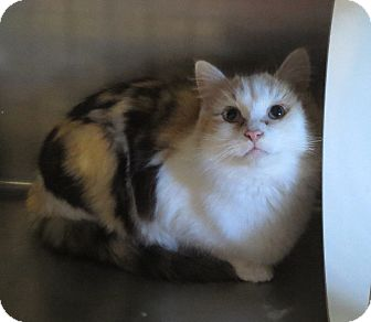 Domestic Mediumhair Cat for adoption in Geneseo, Illinois - Lady