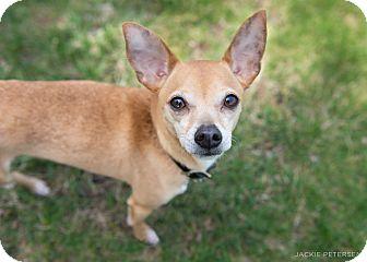 Chihuahua Mix Dog for adoption in Wheaton, Illinois - Newman