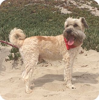Tibetan Terrier Mix Dog for adoption in Irvine, California - CAPTAIN