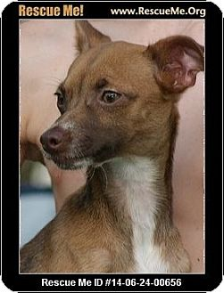 Chihuahua/Chinese Crested Mix Dog for adoption in Fort Myers, Florida - Happy