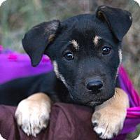 Adopt A Pet :: *Georgia - PENDING - Westport, CT