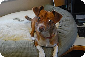 Chihuahua/Dachshund Mix Dog for adoption in Twin Falls, Idaho - Cookie Monster