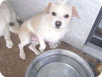 Norfolk Terrier/Toy Fox Terrier Mix Dog for adoption in Pahrump, Nevada - Buddy
