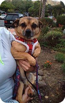 Chihuahua/Pug Mix Dog for adoption in Lafayette, California - MJ