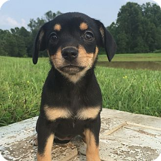 Chihuahua/Pug Mix Puppy for adoption in Russellville, Kentucky - Bess