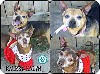 Chihuahua Mix Dog for adoption in Kimberton, Pennsylvania - Kaleb and Kalyn