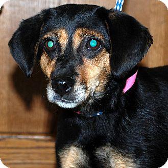 Manchester Terrier Mix Dog for adoption in Hayden, Idaho - Abby