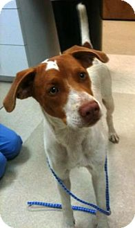 Pointer Mix Puppy for adoption in Dover, Tennessee - Rugar