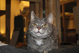 Domestic Shorthair Cat for adoption in Jersey City, New Jersey - Mommy