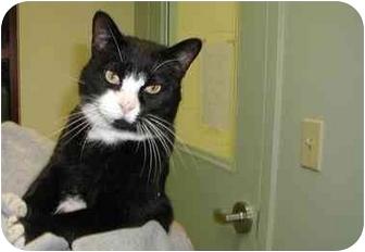 Domestic Shorthair Cat for adoption in Warwick, Rhode Island - MR. FRIENDLY!: Cody