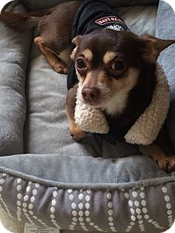 Chihuahua Mix Dog for adoption in Bronx, New York - Napoleon