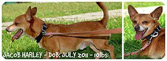 Chihuahua Mix Dog for adoption in Siler City, North Carolina - Jacob Harley