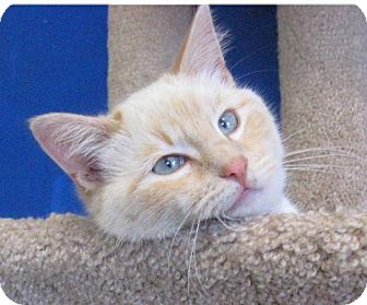 Domestic Mediumhair Cat for adoption in Ada, Oklahoma - Blizzard