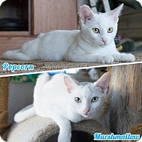 Siamese Kitten for adoption in Montclair, California - Marshmallow & Popcorn