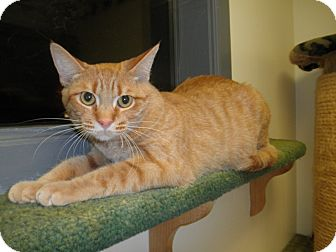 Domestic Shorthair Cat for adoption in Milwaukee, Wisconsin - Adora