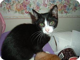 Domestic Shorthair Kitten for adoption in Walnutport, Pennsylvania - Rambo