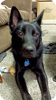 German Shepherd Dog/Border Collie Mix Dog for adoption in Columbus, Ohio - Milo (Foster or Adopt)