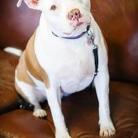 American Pit Bull Terrier Mix Dog for adoption in justin, Texas - Angel