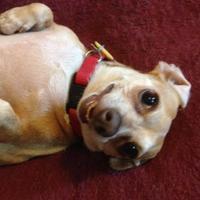 Adopt A Pet :: Monica - Garland, TX