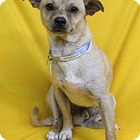 Adopt A Pet :: Cain - Westminster, CO