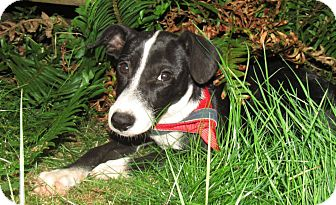 Italian Greyhound/Whippet Mix Puppy for adoption in Olympia, Washington - Wendy