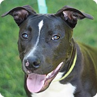 American Staffordshire Terrier Mix Dog for adoption in Brattleboro, Vermont - Marina