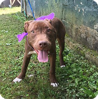 Labrador Retriever/American Pit Bull Terrier Mix Dog for adoption in Windham, New Hampshire - Fawkes