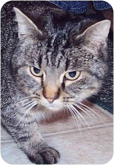 Domestic Shorthair Cat for adoption in Owatonna, Minnesota - Munchkin