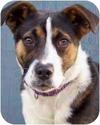 German Shepherd Dog/Terrier (Unknown Type, Medium) Mix Dog for adoption in Bloomingdale, New Jersey - Patches