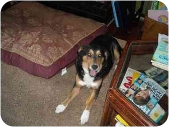 Collie Mix Dog for adoption in Jacksonville, North Carolina - Yadda