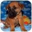 Photo 1 - Shepherd (Unknown Type)/Shepherd (Unknown Type) Mix Puppy for adoption in Broomfield, Colorado - Biff