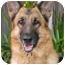 Photo 1 - German Shepherd Dog Dog for adoption in Los Angeles, California - Dasa von Hollywood