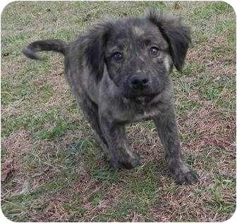 Australian Shepherd/Pit Bull Terrier Mix Puppy for adoption in Portland, Maine - Jack