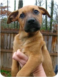 Boxer/Labrador Retriever Mix Puppy for adoption in Westport, Connecticut - *Laila - PENDING
