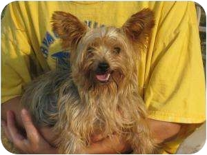 Yorkie, Yorkshire Terrier Dog for adoption in Greenville, Rhode Island - Sophia