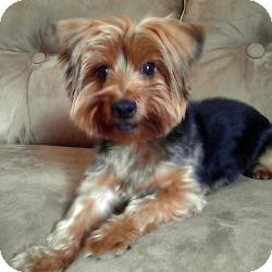 Yorkie, Yorkshire Terrier Dog for adoption in Canyon Country, California - Crosby