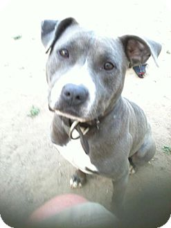 American Pit Bull Terrier Mix Dog for adoption in Lapeer, Michigan - Blue