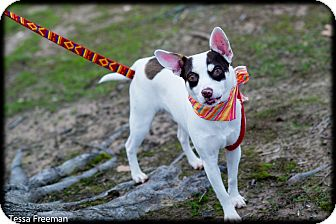 Chihuahua/Jack Russell Terrier Mix Dog for adoption in Muldrow, Oklahoma - Archibald