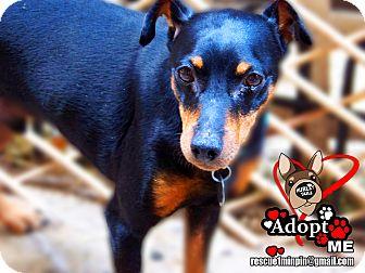 Miniature Pinscher Dog for adoption in Huntington Beach, California - Mickey