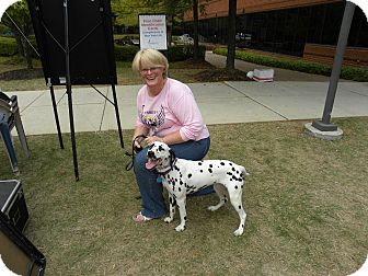 Dalmatian Dog for adoption in Middletown, Pennsylvania - Bailey