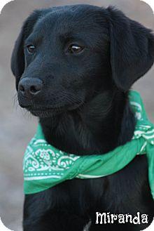 Labrador Retriever Mix Puppy for adoption in Glastonbury, Connecticut - Miranda