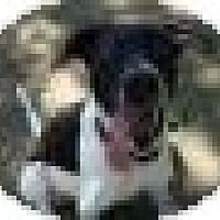 Adopt A Pet :: Cookie - justin, TX