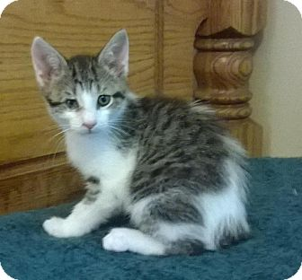 American Bobtail Kitten for adoption in Clarksville, Tennessee - Peter
