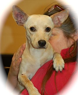 Basenji/Welsh Corgi Mix Dog for adoption in Phoenix, Arizona - Ringo