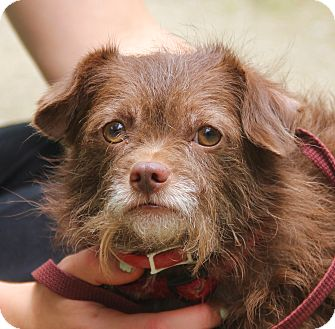 Chihuahua Mix Dog for adoption in Chicago, Illinois - ROCKY-11 lbs of fluffy love