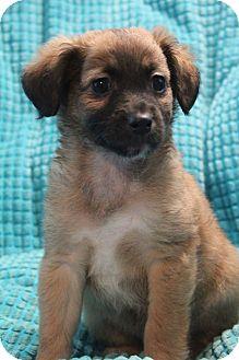 Sheltie, Shetland Sheepdog/Shih Tzu Mix Puppy for adoption in Staunton, Virginia - Kalua