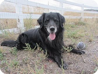 Flat-Coated Retriever Mix Dog for adoption in Ridgway, Colorado - Jester