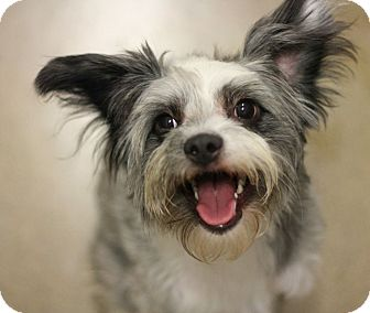 Terrier (Unknown Type, Small) Mix Dog for adoption in Canoga Park, California - River