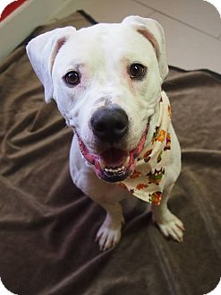 Pit Bull Terrier Mix Dog for adoption in Philadelphia, Pennsylvania - Powder