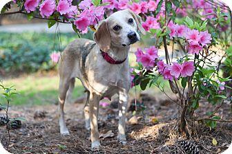 Labrador Retriever/Foxhound Mix Dog for adoption in Virginia Beach, Virginia - Brandy